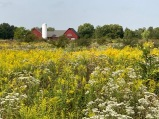 Field of Goldenrod with silo and red buildings in background
