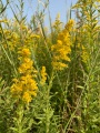 Goldenrod closeup